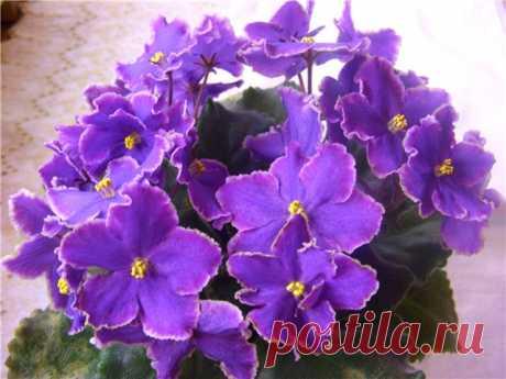 Благодаря этому простому средству из аптечки, фиалки цветут и пахнут даже зимой  Растения, как и люди, зимой нуждаются в солнечном свете и тепле. Комнатные растения в холодную пору года часто чувствуют себя плохо в помещении. Причина тому — слишком сухой воздух и недостаток солне…