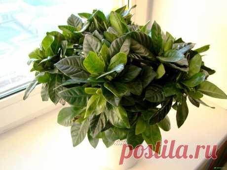 Гардения жасминовидная - выращивание, полив, пересадка