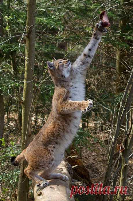 Beutefang | Luchs im Wildpark Pforzheim | Cloudtail the Snow Leopard | Flickr