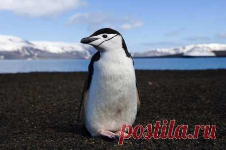 О пингвинах