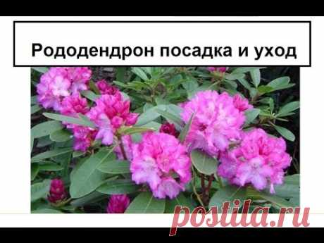 Рододендрон садовый посадка и уход ч.1 - YouTube