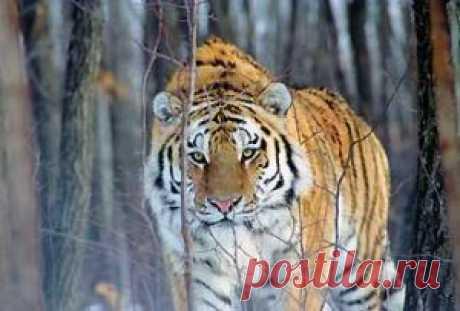 Амурский тигр – самая крупная и самая красивая дикая кошка в мире – сохранился практически только в России. Ещё в начале века в Азии обитали 8 подвидов тигра, но уже в 40-х гг. исчез балийский тигр, живший на острове Бали в Индонезии, а в 70-х гг. – туранский тигр, которого ещё встречали в тугайных лесах Аму-Дарьи в 50-х гг. Несмотря на отчаянные попытки спасти последних особей яванского тигра, в 80-х годах вымер и этот подвид, живший на острове Ява. Из оставшихся подвидов в число наиболее уязви