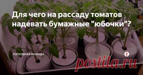 """Для чего на рассаду томатов надевать бумажные """"юбочки""""? Выращивая рассаду на своих окнах, огородники часто сталкиваются с проблемой пересыхания почвы. Основная причина всему, сухой воздух в помещение."""