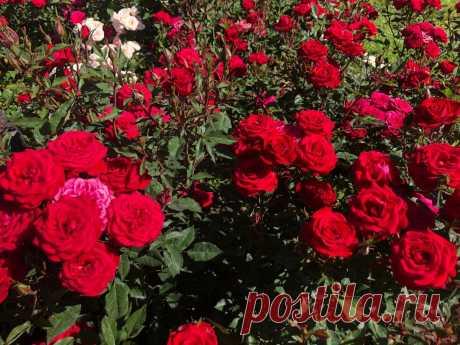 Как обрезать розы после цветения? (Видео)   Виталий Декабрев   Яндекс Дзен