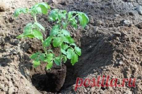 Посадка помидоров по два в лунку: что дает?