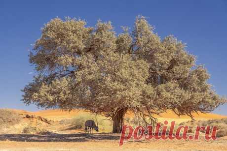 Одинокий орикс прячется в тени под одиноким деревом в пустыне Намиб. Национальный парк Намиб-Науклюфт, долина Соссусфлей. За бортом +40°С. За фото и описание спасибо Олегу Домалеге: nat-geo.ru/community/user/164492/