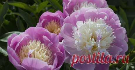 Как ухаживать за пионами весной, чтобы добиться их пышного цветения Хотите, чтобы куст пионов благоухал и утопал в цветах? Тогда позаботьтесь о нем с ранней весны. А мы подскажем последовательность действий.