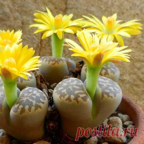 """Комнатное растение Аргиродерма (Argyroderma). Название рода намекает на серебристый оттенок листьев растений (греч. argyrum - """"серебро"""", derma - """"кожа""""). Аргиродермы относятся к так называемым """"живым камням"""" - суккулентам, чей внешний облик напоминает камешки, гальку или рассеченный пополам спиленный стволик. В продаже нередка аргиродерма яичковидная (A.testiculare). Выращивают такие растения ради их декоративного и достаточно странного вида."""