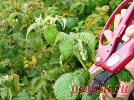 As it is correct to cut off raspberry in the spring, in the summer and in the fall | Malines, blackberry (Огород.ru)