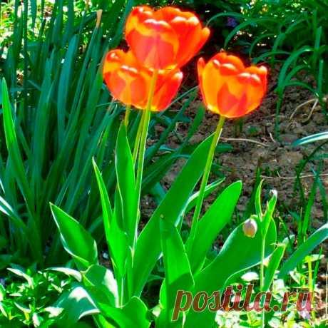Многолетний садовый цветок Тюльпан (Tulipa). Семейство: лилейные (Liliaceae)  Луковичный травянистый многолетник. Луковица округлая, состоит из запасающих чешуй и пленчатой кожистой кроющей чешуи. Цветочный стебель высотой от 10 до 80 см. Листья широколанцетные, с восковым налетом. Цветки разнообразной формы и окраски. Цветет в апреле - мае.  Основные виды Все сорта и гибриды объединены под названием т.гибридный (T.hybrida). Современная классификация выделяет 15 групп тюльпанов.