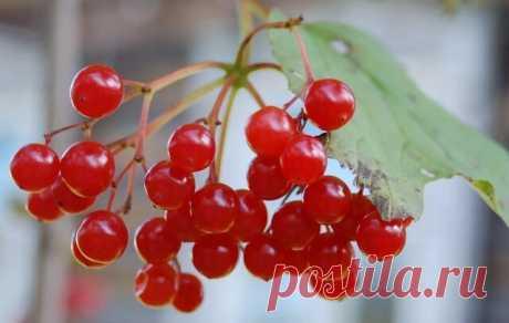 ЦЕЛЕБНЫЕ СВОЙСТВА КАЛИНЫ  Калина - одна из самых ПОЛЕЗНЫХ ягод в природе. В калине всё ЦЕЛЕБНО: кора, веточки, цветы, ягоды и сушёные косточки. Наши предки о лечебных свойствах калины, знали, что ее ягоды улучшают работу сердца, обладают успокаивающим действием. Витамина С в калине в 1, 5 раза больше чем в лимоне. В ней есть железо, селен, йод, каротин, фосфор. С мёдом калину назначали при простудных заболеваниях. Чай из калины пили при гнойничковых заболеваниях кожи, при...