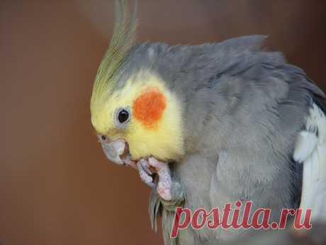 Чем хороша такая порода попугая, как Корелла | nashi-pitomcy.ru