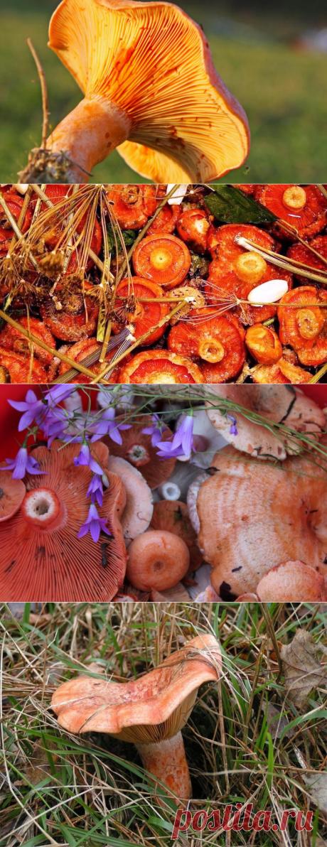 Как солить грибы рыжики? | Еда и кулинария