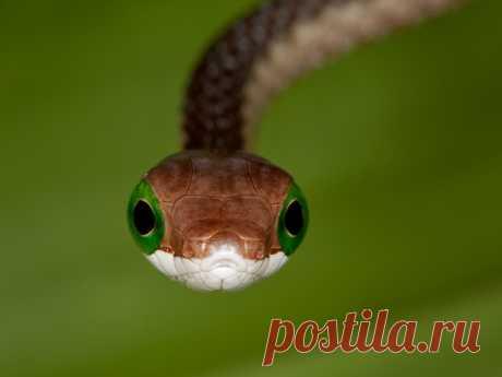 Африканский бумсланг (лат. Dispholidus typus) – красивая и очень опасная змея из семейства ужеобразных. Неосторожное обращение с ней может стоить вам жизни.