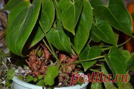 Как омолодить антуриум Комнатное растение антуриум очень популярно. Его необычные глянцевые цветки привлекают внимание, цветение длится долго, растение может цвести и зимой при достаточном освещении. Уход за антуриумом не с…