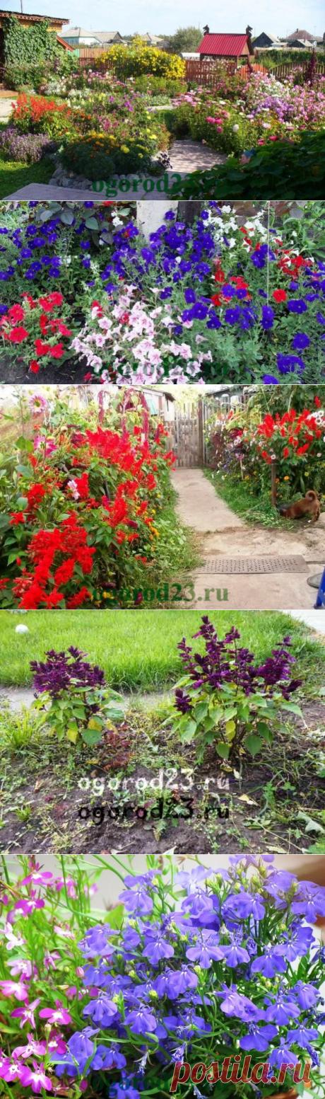 Однолетние цветы, цветущие все лето