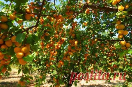 Что делать летом с абрикосом, чтобы увеличить урожай в три раза