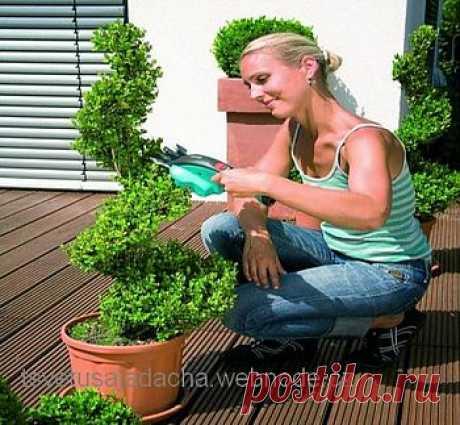 Декоративные растения: топиари  самшитового куста. :: Цветущая дача