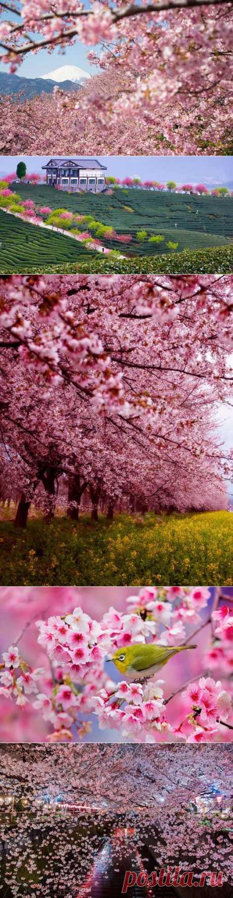 Цветение сакуры в Японии: весна идет, весне дорогу   Фотография   Фотография