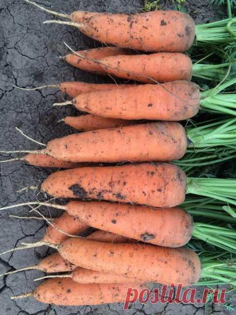 Жаль, что поздно узнала об этих урожайных, с длительным хранением сорта моркови, теперь буду высевать только их | Мой любимый огород | Яндекс Дзен
