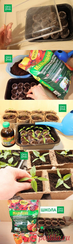 Как получить крепкую рассаду перца – пошаговый мастер-класс с фото | Перец, баклажаны (Огород.ru)
