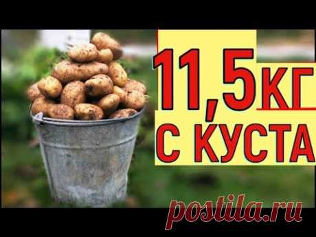 POTATOES HARVEST THE BUCKET FROM THE BUSH CULTIVATION OF POTATO IN THE BOX