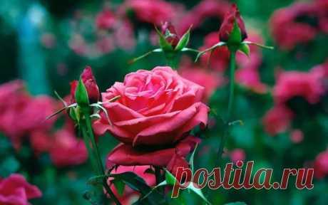 Буррито – СУПЕР уникальный метод размножения роз! — 6 соток