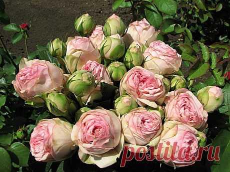 Чайно-гибридные - Брайдал Пиано роза
