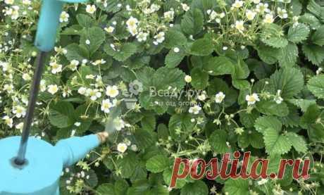 Рецепт подкормки клубники в период цветения Чем и когда подкормить клубнику чтобы поднять урожайность. Рецепт универсального средства для подкормки и защиты клубники от вредителей