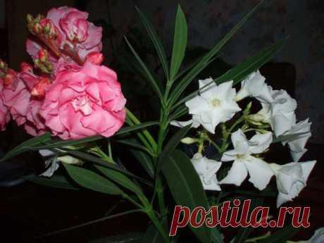 Олеандр. Популярен из-за красоты цветков и листьев, приятно пахнет. Но во время цветения может вызвать сильную головную боль. А растет до 5 метров в высоту. Ухаживать за ним надо только в перчатках и не подпускать детей.