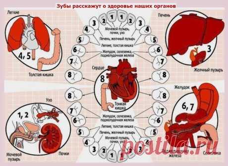 Каждому зубу- свой орган