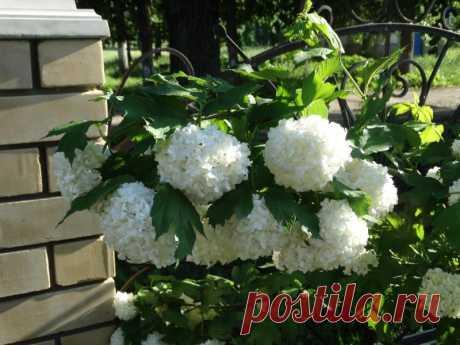 Декоративная калина бульденеж или просто красавица — Садоводка