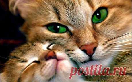 Половое созревание: 5 признаков наступления первой течки у кошки