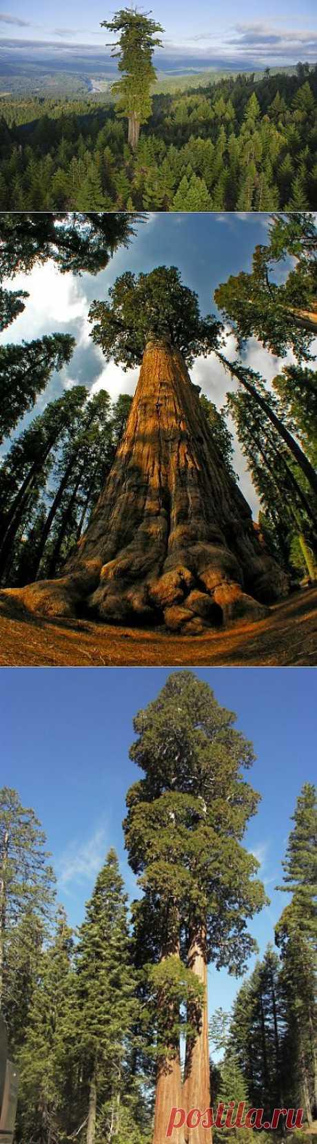 (+1) тема - Самые высокие деревья нашей планеты | Наука и техника