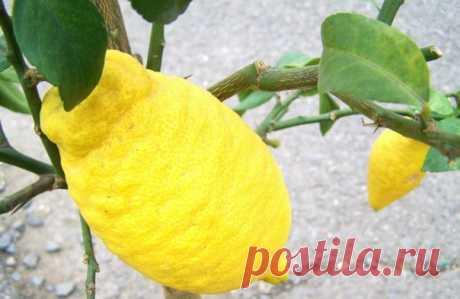 Цитрон - одно из первых цитрусовых растений в Европе.