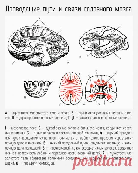 Проводящие пути и связи головного мозга