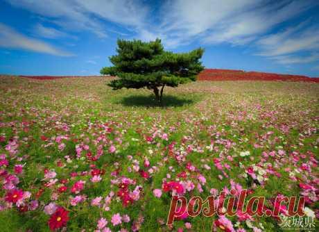 Лазурная сказка: парк Хитачи на острове Хонсю, на территории которого круглый год цветут целые поля цветов. Бескрайние, разноцветные, цветущие поля парка Хитачи собрали на своей территории огромное количество разновидностей цветов собранных со всех уголков Земли.