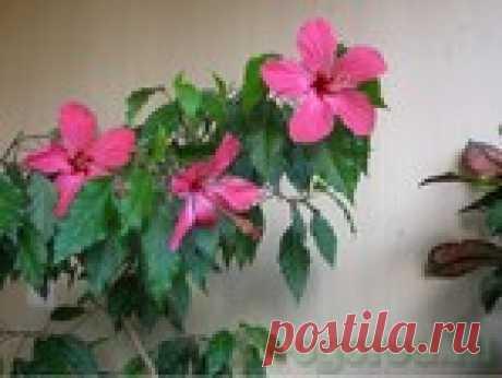 La rosa china o el Hibiscus, la partida en las condiciones de casa