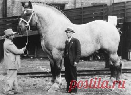 Самая большая лошадь в мире по кличке Самсон, высотой 2 метра 20 сантиметров, вес – 1,52 тонны. 1852 год