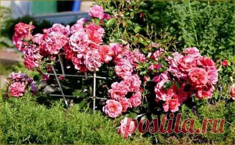 (+1) тема - Красивый розарий на маленьком участке | ОГОРОД БЕЗ ХЛОПОТ