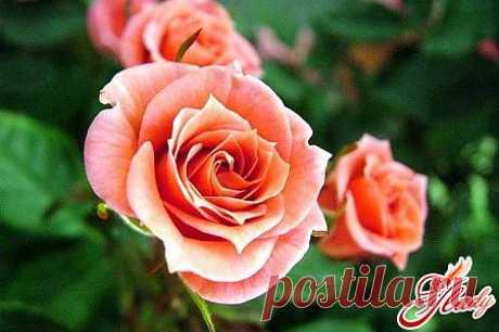 Как ухаживать за комнатной розой?