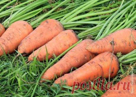 Летний эксперимент… или поздний посев моркови | 6 соток
