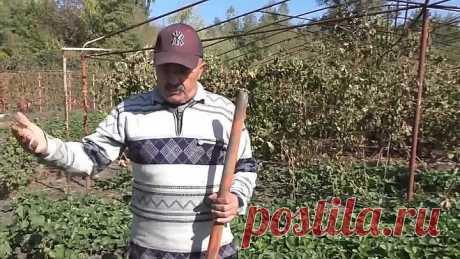 Правильная подготовка рассады клубники к пересадке осенью!