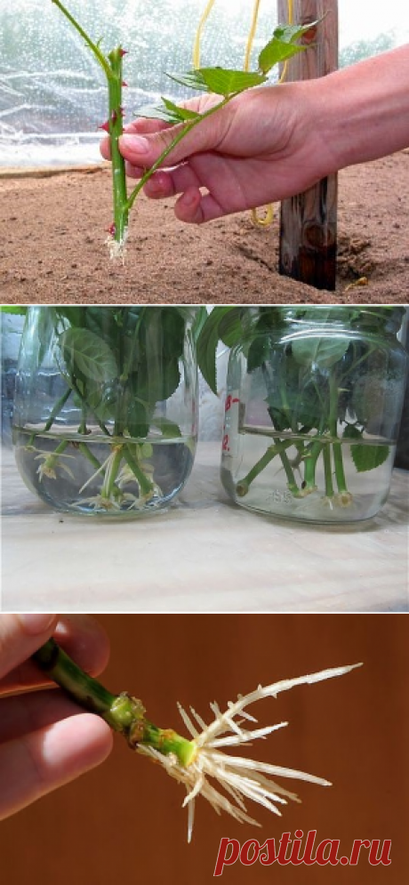 Домашние стимуляторы образования корней на черенках — 6 соток