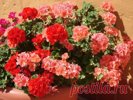 Como cortar correctamente el geranio para el florecimiento pomposo