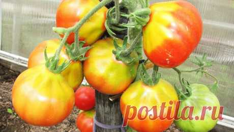 Желтые плечики на плодах томатов, как этого избежать? | Садово-огородные хитрости | Яндекс Дзен