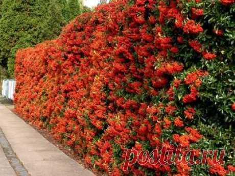 Топ-5 растений для посадки перед забором | Vusadebke.com | Яндекс Дзен
