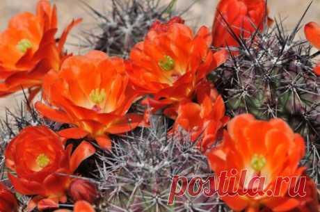 Выращиваем кактусы. Уход, размножение. Виды, разновидности. Фото. — Ботаничка.ru