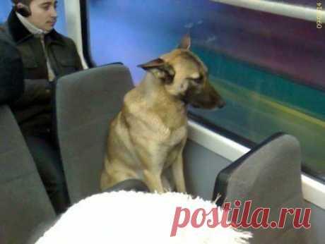 Эту собаку знают все пассажиры трамвайных маршрутов в Екатеринбурге. Собачка садится на одной и той же остановке и выходит в определенном месте. Выходит из салона и идет в столовую университета. Там, видимо, ее подкармливают. А потом ближе к вечеру, до начала часа пик, возвращается обратным маршрутом. Обычно она садится на боковушку, чтобы никому не мешать.  И выбирает такое время, чтобы в салоне было мало народу.