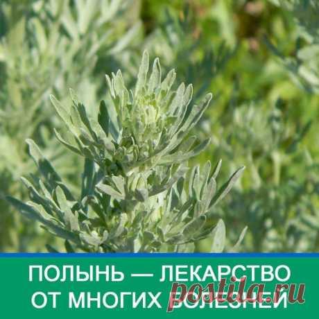 Полынь - лекарство от многих болезней!